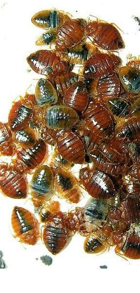 Bed Bugs Exterminator Prices by Bed Bug Pest Cost Stunning Heat Bed Bugs Why