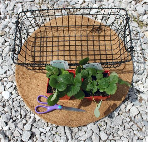 Wire Planters by Smile And Wave Diy Wire Basket Into Strawberry Planter