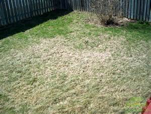 white grubs and your lawn destroy or be destroyed