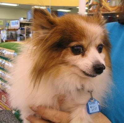 what is the expectancy of a pomeranian pomeranian breed information puppies pictures