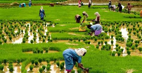 Essay Rural Livelihood India by Importance Of Agriculture In India Essay For