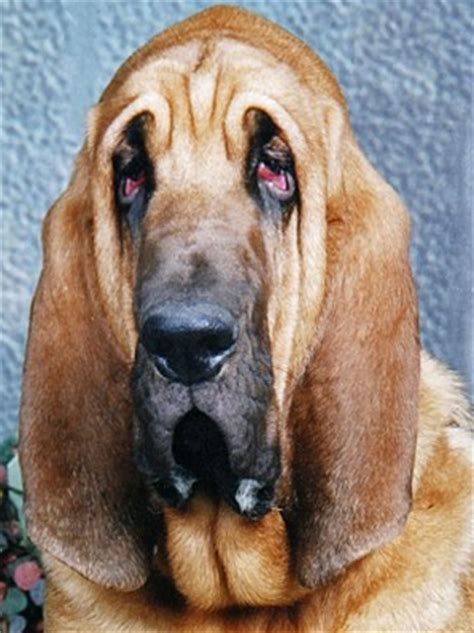 conjunctivitis in dogs conjunctivitis in dogs canine conjunctivitis how to treat is it contagious