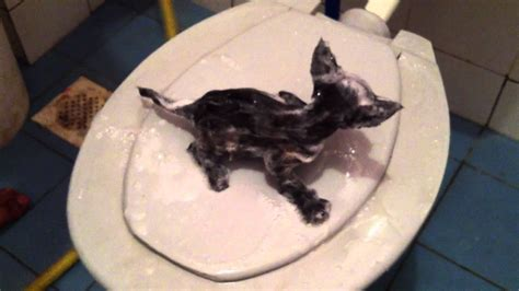 Kucing Max Kitt Milk mandikan kucing funnycat tv