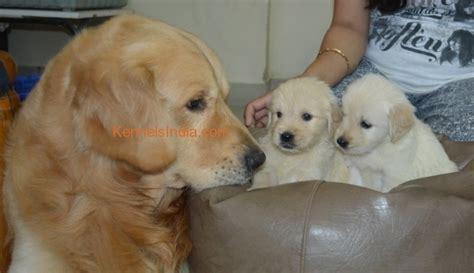 golden retriever price in india bangalore breed golden retriever puppy for sale in bangalore karnataka