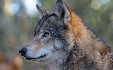 wolf head photo hd wallpaper  wallpapers