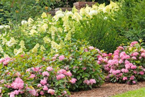 hortensien wann pflanzen hortensien 187 pflanzen pflegen schneiden und mehr