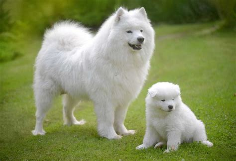 how much are samoyed puppies samoyed puppy price range cost how much are samoyed dogs
