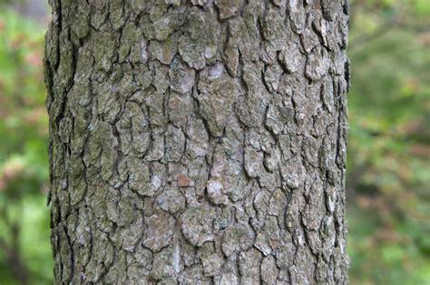 flowering dogwood bark clippix etc educational photos
