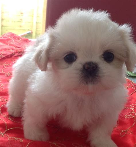 and white shih tzu puppies fantastic white shih tzu puppies sandown isle of wight pets4homes