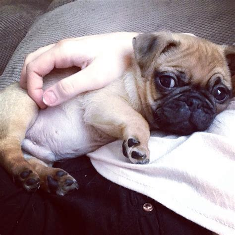 apricot pug for sale apricot pug puppy for sale birmingham west midlands pets4homes