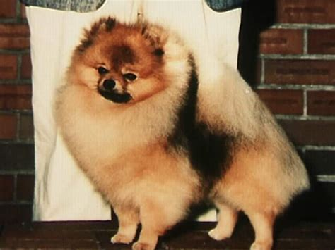 starfire pomeranians welcome to avalon pomeranians