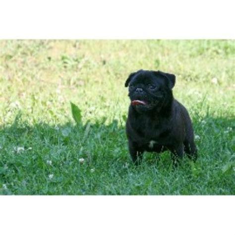 pugs for sale in alberta silvermist registered pugs pug breeder in chipman alberta