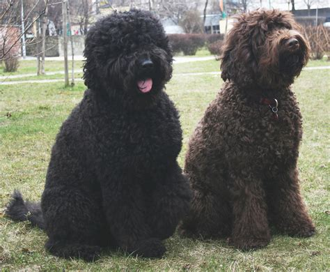 haired breeds barbet puppies rescue pictures information temperament characteristics