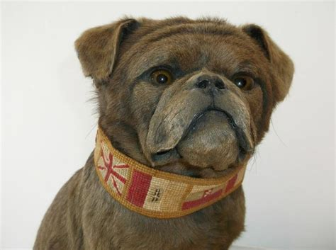 chocolate pug puppies details about antique chocolate brown pug taxidermy ex cond mounted