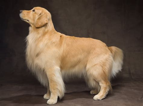 golden retriever that stays dogs home design with kevin sharkey