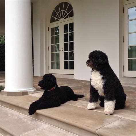 white house dog sunny 17 best images about bo sunny on pinterest air force ones portuguese water dog