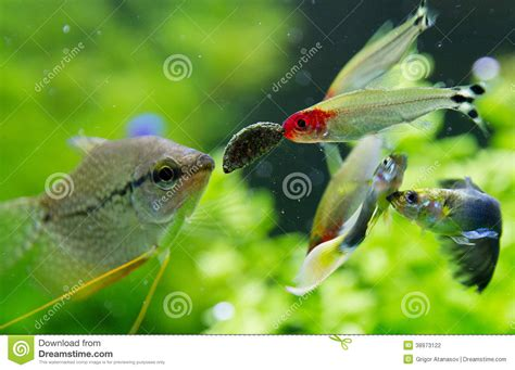 Poisson Exotique Pour Aquarium by Poissons Exotiques Dans L Aquarium D Eau Douce Photo Stock