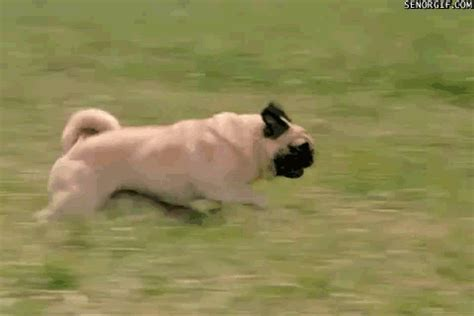 pug running gif running gif find on giphy