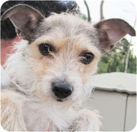 poway yorkies adopted poway ca airedale terrier yorkie terrier mix