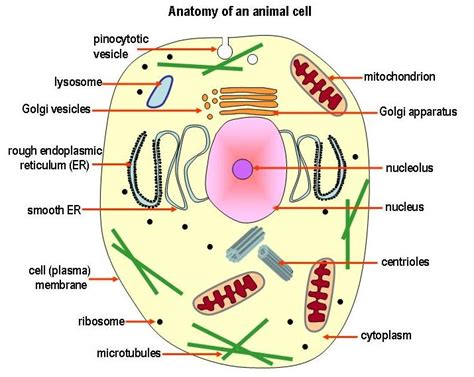 diagram of the animal cell september 2010 pass science solutions