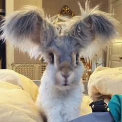 meet wally the bunny with the wing like ears