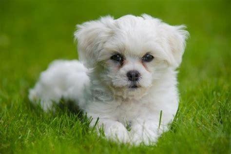 havanese kutya havannai pincs i kutya