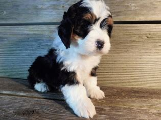 bernedoodle puppies ohio view ad miniature bernedoodle puppy for sale ohio