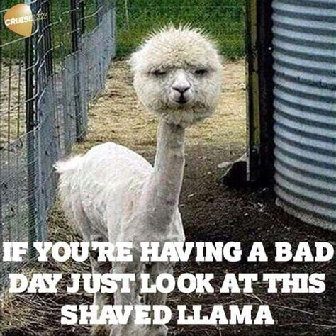 Shaved Llama Meme - 25 best ideas about bad day humor on pinterest work day