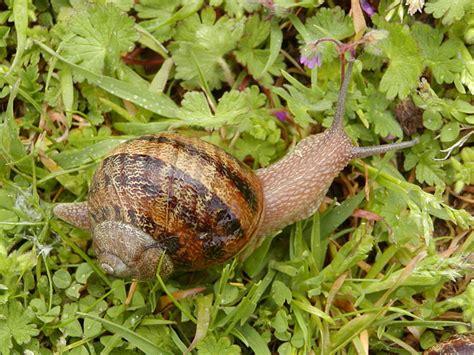 Brown Garden Snail by Helix Aspersa Brown Garden Snail Cornu Aspersum