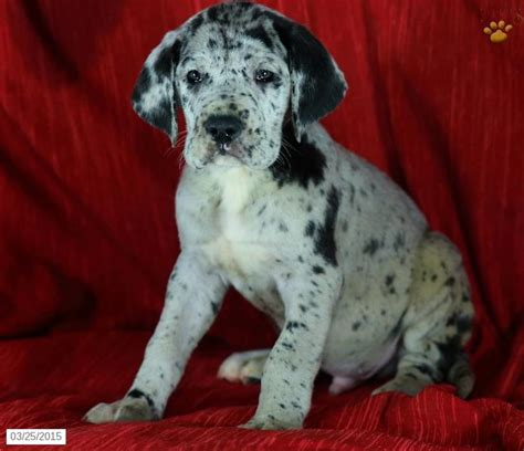 great dane puppies pa great dane puppy for sale in pennsylvania puppies dane puppies