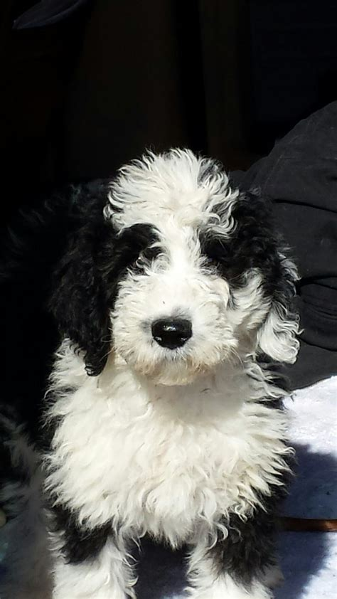 poodle rescue northwest indiana 33 best images about i want a sheepadoodle on