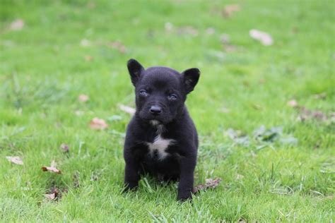 Land Giveaway Australia - kelpie pup a true chion stock land