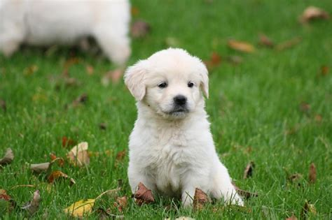 golden retriever a vendre chiot elevage de beaudribos eleveur de chiens golden