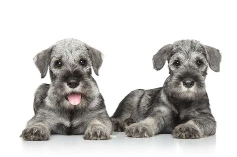 standard schnauzer puppies schnauzer schnauzer pet insurance breed info