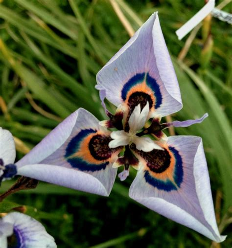 cool small palnts to grow growing cool plants new moraea hybrids 2017