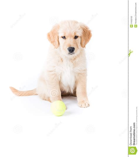 golden retriever puppies 2 months retriever puppy sitting stock photography image 31632102