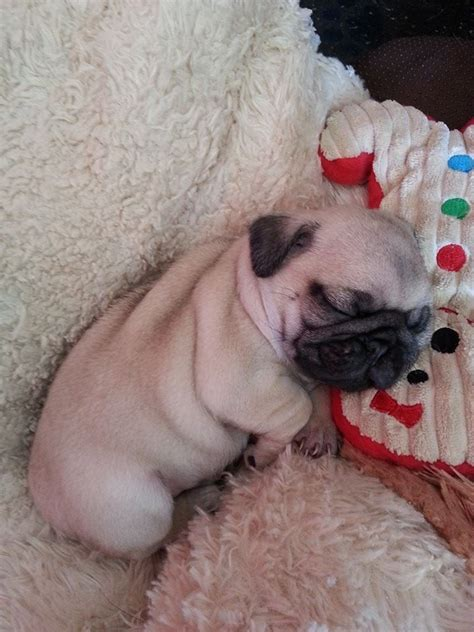 baby pugs sleeping baby pug pugs sacks sleep and puppys