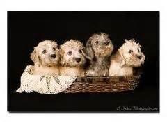 dandie dinmont terrier puppies for sale dandie dinmont terrier and terriers on