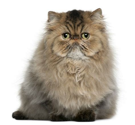Persian Cat Breed Information and Photos   ThriftyFun