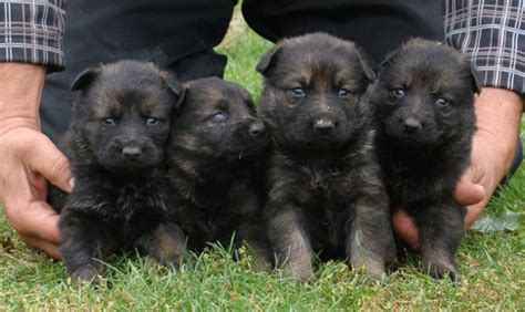 3 week puppy care 3 week german shepherd puppies common information and pictures