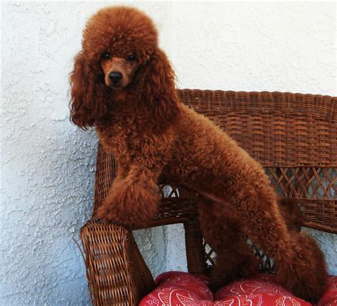 miniature poodle puppies for sale west coast poodles miniature and poodle puppies