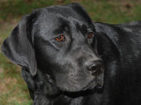 Labrador Retriever - Dog Rescue Network Resource Center