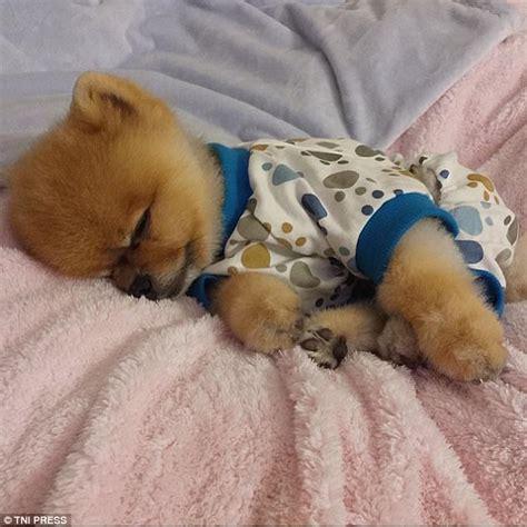sleepy pomeranian photos capture puppies dressed in pyjamas daily mail