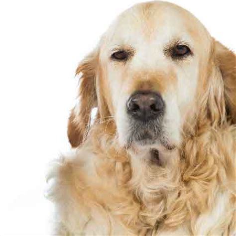 dehydration in dogs dehydration in dogs and cats petcarerx