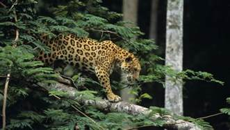 Do Jaguars Live In The Tropical Rainforest Animals In The Tropical Rainforest Food Chain Sciencing