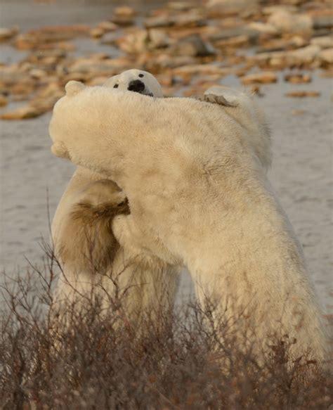polar in churchill churchill polar bears