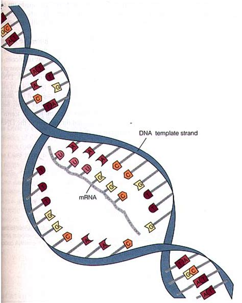 what is a template strand mrna digram clipart best