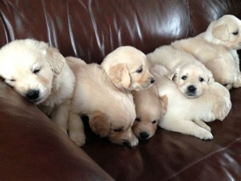 golden retriever cross puppies for sale golden retriever cross labrador puppies perth australia free breeds picture
