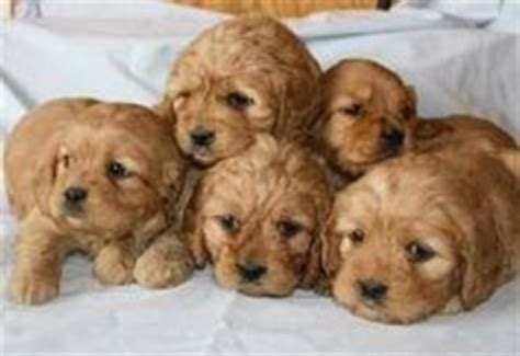 golden retriever puppies that stay small golden cocker retriever stay small finally a that will always look like a
