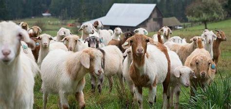de cabras cria 231 227 o de cabras